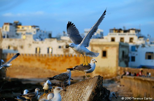 Seagulls and salt spray in Essaouria by Terence Carter