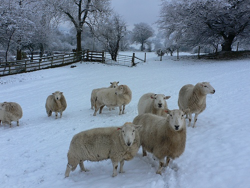 Snowy sheep at Laswern Fawr cottage, Nr Crickhowell, Brecon Beacons, Wales