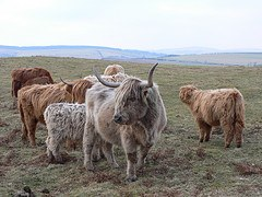 Highland Cattle in the Rhos  Fiddle Nature Reserve, Shropshire
