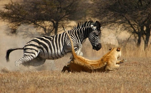 The hunt in Zimbawe: A zebra chased by a lion
