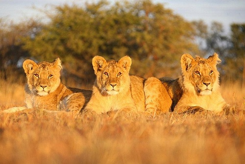 See the Lions of Zimbabwe