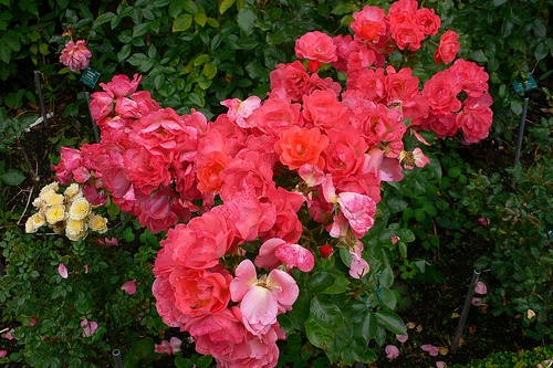 Roses in the Abbey House Gardens, Malsbury Photo: Heatheronhertravels.com