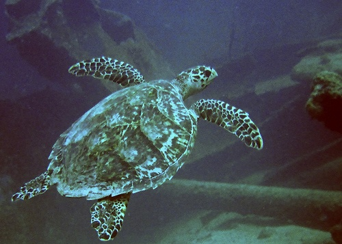 Turtle at Antilla Wreck Aruba