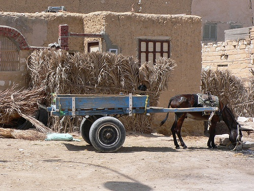 Donkey carts in Siwa oasis in Egypt Photo: Heatheronhertravels