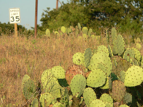 Texas Cactus Photo: Houstonian