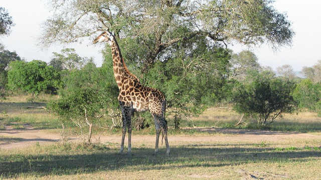 Giraffe at Sabi Sands Game Reserve Photo: Jeffrey Cammack