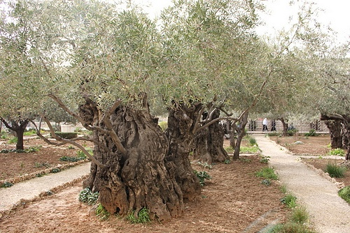 The Garden of Gethsemane in Jerusalem Photo: Sally Hunt