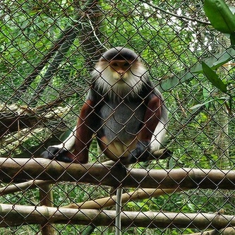 Red Shanked Douk in Cuc Phuong National Park Photo: Gavin White on Flickr
