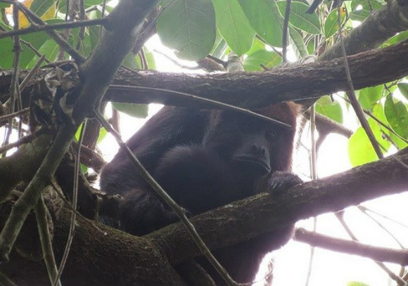 Monkey in the rainforest, Ilha Grande, Brazil Photo: Neil Robertson