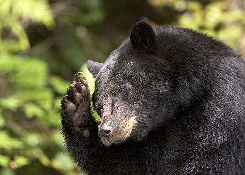 Black bear watching in Canada