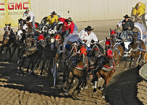 Chuckwagon racing at Calgary stampede in Canada