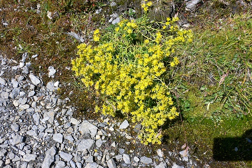Alpine Flowers on the Tour de Mont Blanc Photo: Heatheronhertravels.com