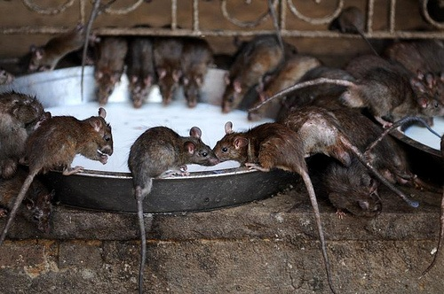 Rats at Karni Mata Temple, India Photo: Koen on Flickr