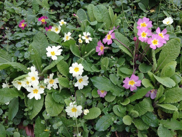 Primroses in North Devon Photo: Heatheronhertravels.com
