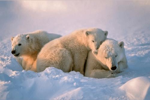Polar-Bears-Canada
