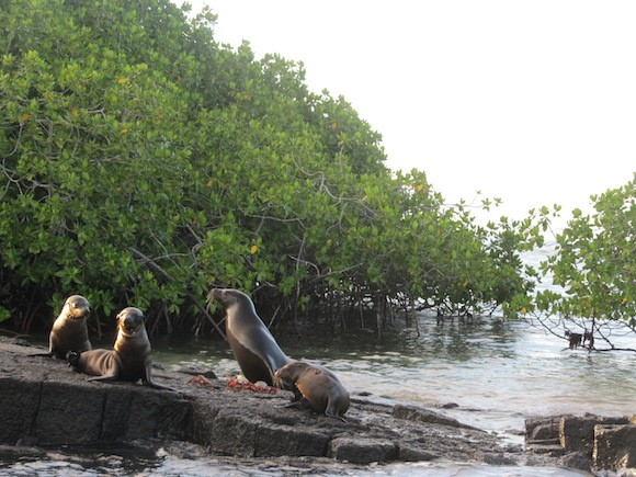 Sea lions and Sally Lightfoot crabs in the Galapagos Islands Photo: Kate Convissor