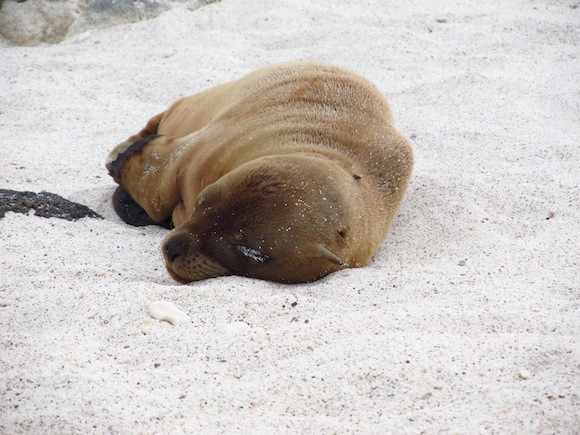 Sleepy sea lion in the Galapagos Islands Photo: Kate Convissor