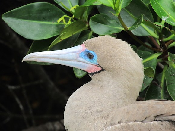 Red-footed booby in the Galapagos Islands Photo: Kate Convissor