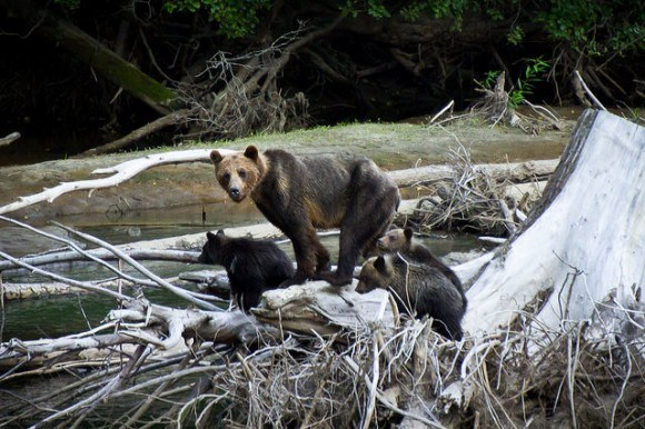 Bear watching in BC, Canada Photo: Stephen Mattucci on Flickr