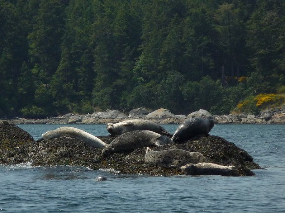 A chance to view Sea Lions off the coast of BC, Canada Photo: Richard Gould on Flickr