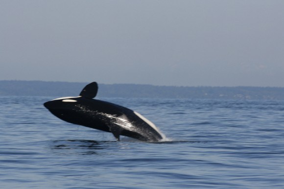 Whale watching in BC Canada Photo: Natalie Tsang on Flickr