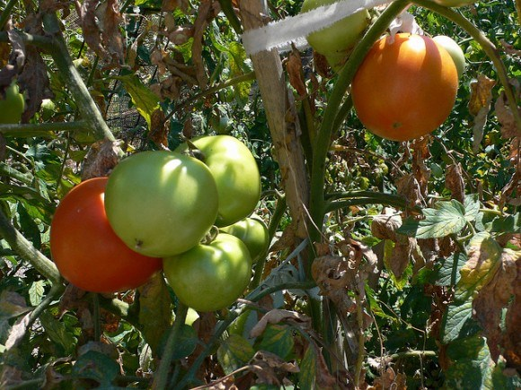 Home grown tomatoes in Greece