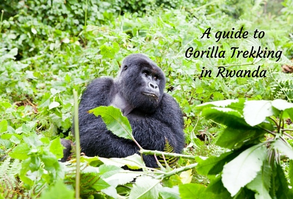 A guide to gorilla trekking in Rwanda