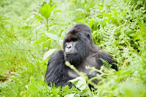 Gorilla Treking in Rwanda Photo: Heatheronhertravels.com