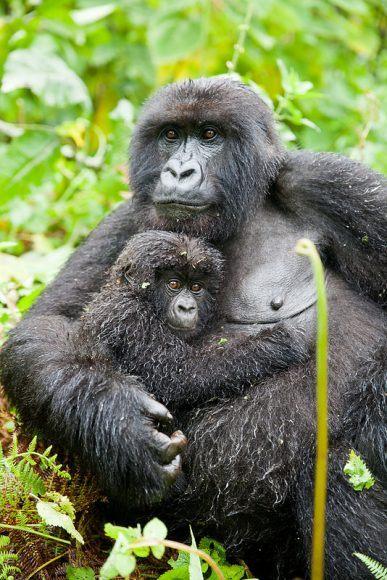 Gorilla trekking in Rwanda Photo: Audley Travel