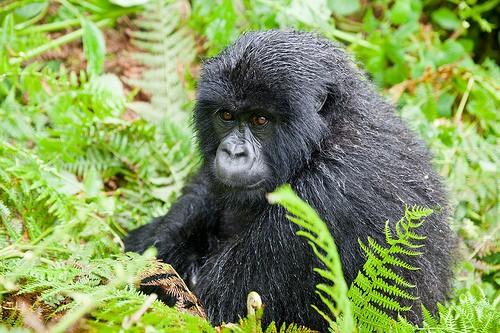Gorilla trekking in Rwanda Photo: Audleytravel.com