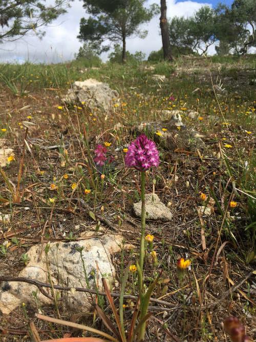 Wild orchids nearCala Macarella, Menorca Heatheronhertravels.com