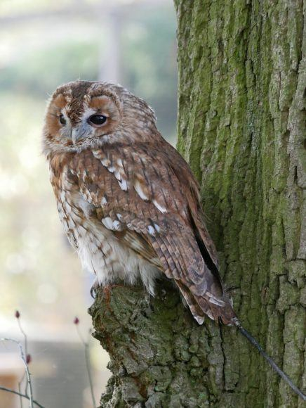 Tawny owl at the British Wildlife Centre