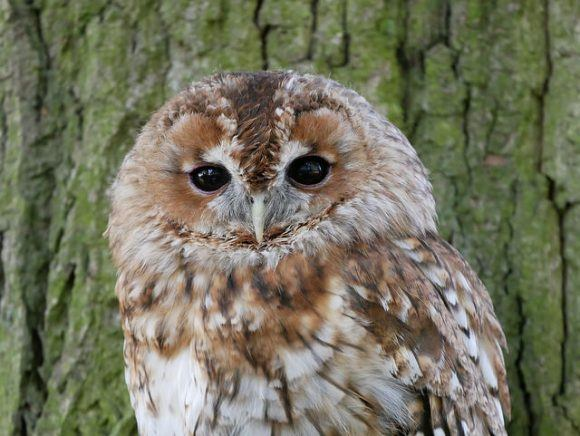 Tawny owl at the British Wildlife Centre photographed with Lumix GX80