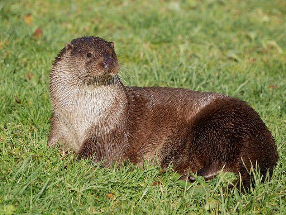 Otter at British Wildlife Centre Photo: Heatheronhertravels.com