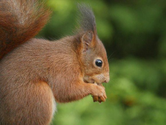 Red Squirrel by Phil Gould