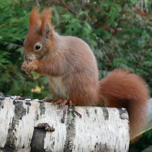Red squirrel at British Wildlife Centre Photo: Heatheronhertravels.com