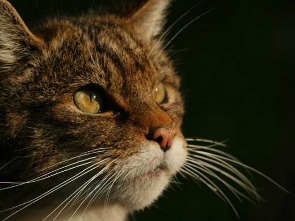 Scottish Wildcat Photo by Phil Gould