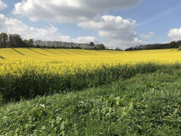 Rapeseed in the fields in Lodsworth photo: Heatheronhertravels.com