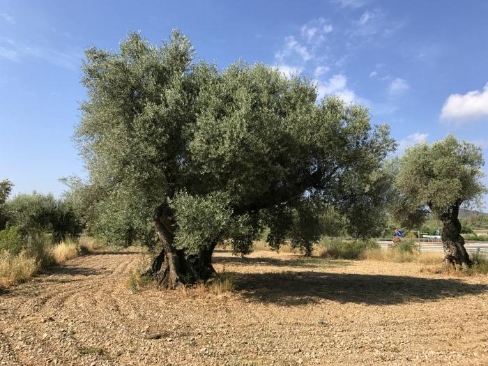 Olive trees in Castellon photo: Heatheronhertravels.com
