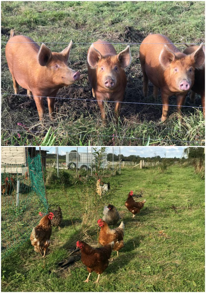 Pigs and chickens at The Marram Grass Photo: Heatheronhertravels.com