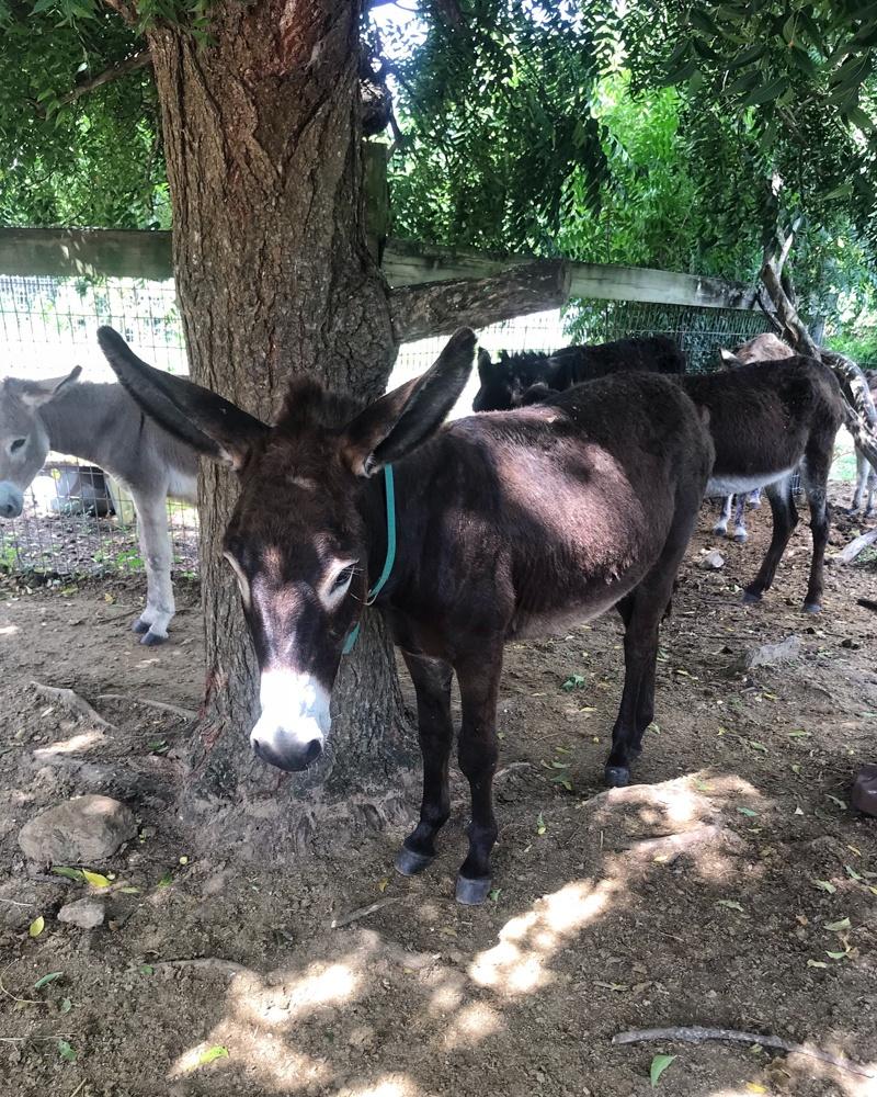 Donkey Sanctury Antigua Photo Heatheronhertravels.com
